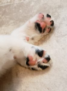 A close up photo of pink and black border collie puppy paws.