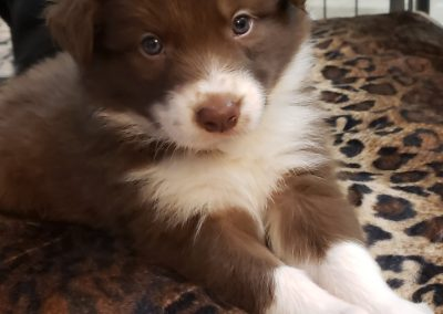 A red and white border collie puppy on her animal print bed.