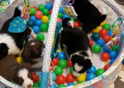 Border collie puppies playing in a fun ball pit.