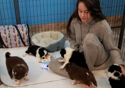A teenage girl plays happily with border collie puppies.