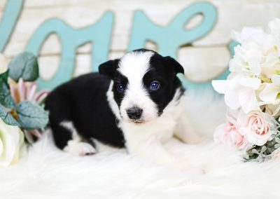 A handsome black and white border collie puppy posing by white roses.