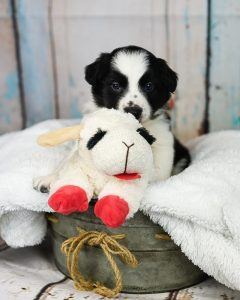 A border collie puppy with his toy sheep.