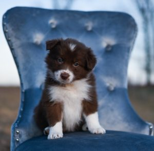 Red and white border collie puppy sitting on a blue chair.