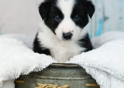 This little black and white border collie puppy has an intense gaze.
