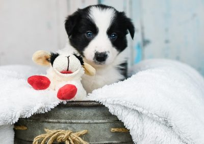 And adorable black and white border collie puppy with his red and white sheep.