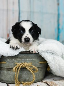 Cute little border collie puppy with his white fluffy blanket.