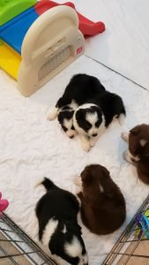 These border collie puppies are very happy.