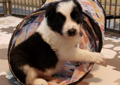 A border collie puppy playing in his agility tunnel.