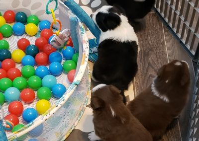 Border collie puppies playing in a colorful ball pit.