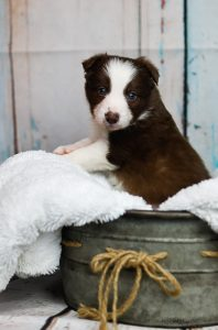 A red and white border collie puppy in a metal tub.
