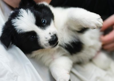 A black and white border collie puppy getting belly rubs.