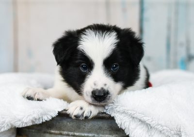 Sweet little black and white border collie puppy staring into the camera.