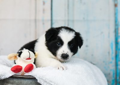 Black and white border collie puppy on a fluffy white blanket.