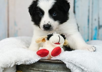 A black and white border collie puppy stares into the camera and poses with his little sheep.