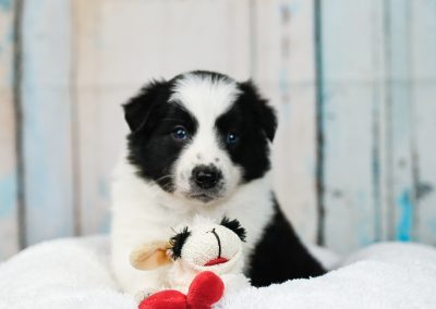 A fluffy black and white border collie puppy with his stuffed play toy sheep.