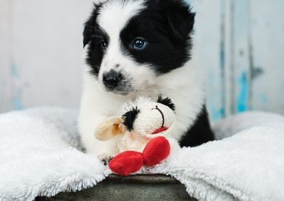 A black and white border collie puppy with his sheep.