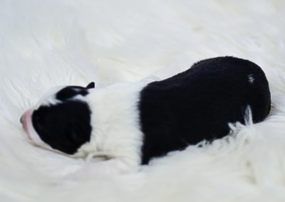 As sweet as candy, this black and white border collie puppy is only a few days old.