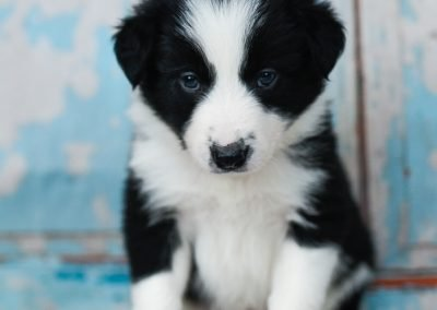 A black and white border collie puppy posing in front of a wooden wall.