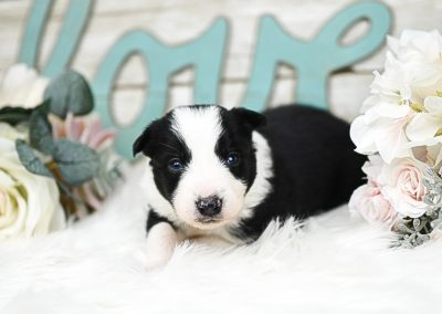 Handsome black and white border collie puppy with flowers and love sign in the background.