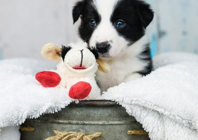 A black and white border collie puppy playing with a stuffed animal.