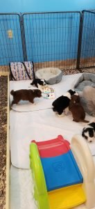 Border collie puppies having a good time playing with toys.