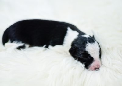 Miami is a black and white border collie puppy for sale.
