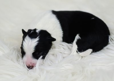 This is a cute black and white newborn puppy.