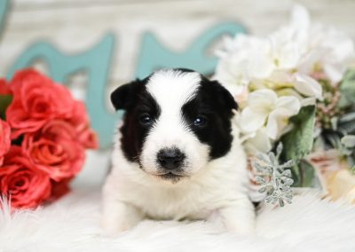 Alert and wide-eyed black and white border collie puppy for sale.