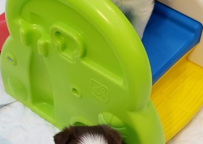 This black and white border collie puppy loves to play on the slide.