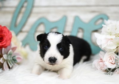 Pretty Valentine black and white puppy posing by flowers.
