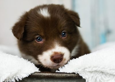 A red and white border collie puppy stares sweetly into the camera.