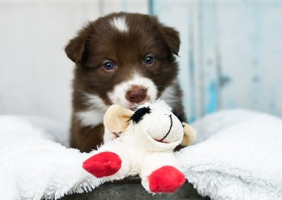 A red and white border collie puppy plays with her stuffed animal.