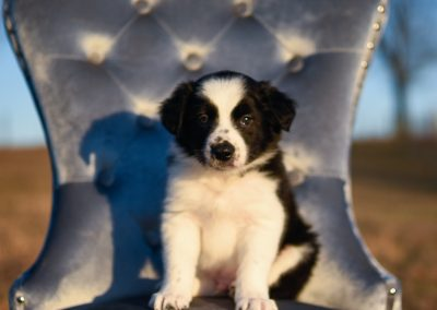 A black and white border collie puppy sitting outside in a blue chair.