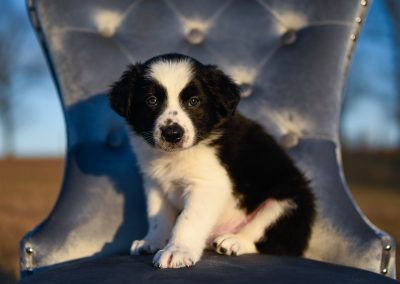 A little black and white border collie puppy sitting in a blue chair.