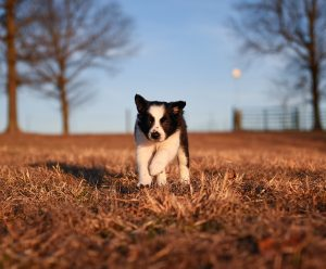 A black and white border collie puppy running outside with the moon in the background.
