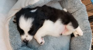 Border collie puppy sleeping in his comfortable bed.