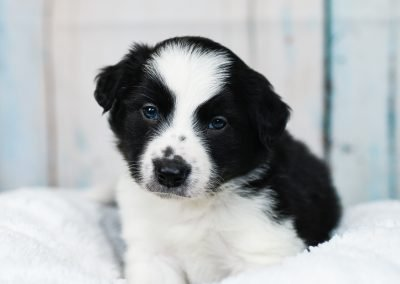 A border collie puppy staring with his soulful eyes.