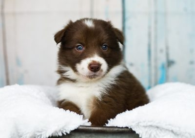 A beautiful red and white border collie puppy posing on a white blanket.