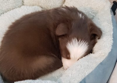 A cute red and white border collie puppy curled up in his bed.