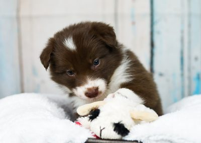 A red and white border collie puppy playing with her toy.