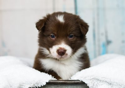 A red and white border collie puppy in a tin wash pan.