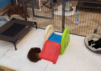 Border collie puppies sleeping in their clean play area.