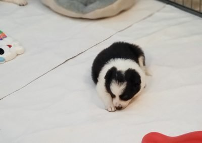 What a sweet fluffy black and white border collie puppy sleeping in his room.