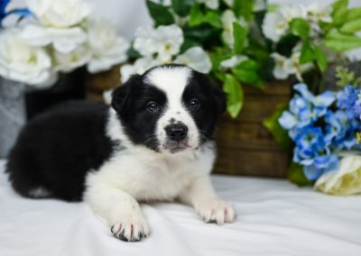 Adorable black and white border collie puppy posing by flowers.