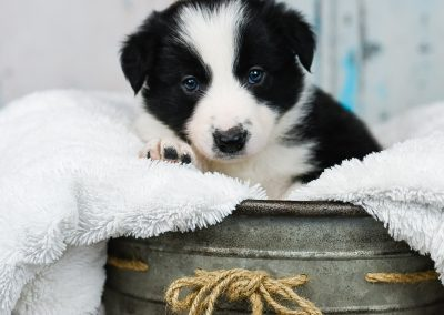 A black and white border collie puppy showing his cute paw.