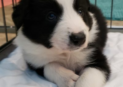 Border collie puppy playing in the playroom.