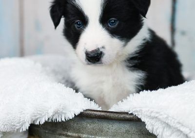 A little border collie puppy sitting pretty in a metal tub.