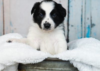 Confident black and white border collie puppy.