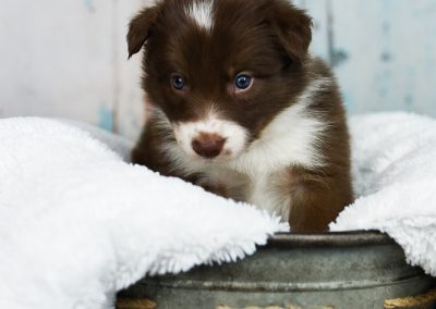 A red and white border collie puppy about to jump.