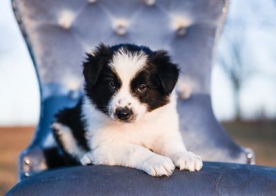 This handsome border collie puppy loves people.